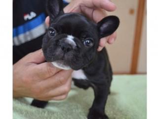 frenchbulldog_20160808brb-21
