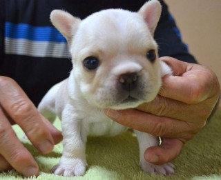 frenchbulldog_20160824crb_10